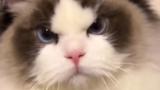 这小猫咪全身上下都写着生气
