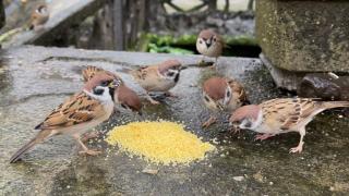 麻雀家族最丢脸的场面,被一只小鸟暴揍