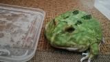 角蛙,一种平价好玩的品种