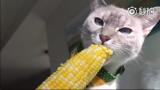 一只喜欢吃玉米的猫咪,太好养活了!