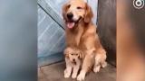 女主人假装要打金毛宝宝,金毛妈妈立马抱紧小狗狗!真的不是说不能成精的吗?