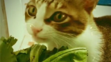 捕捉到一只吃青菜的和尚猫!