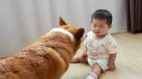小宝宝一直哭,爸妈都没办法,没想到狗狗可以